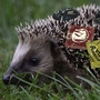 Just for fun: Hedgehog and condoms
